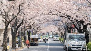 満開の桜アーチが綺麗なかむろ坂